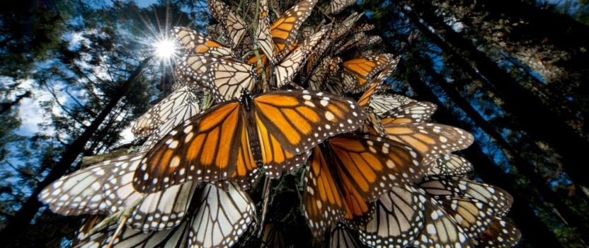 The Population of Monarch Butterflies Wintering in Central Mexico is up 144%