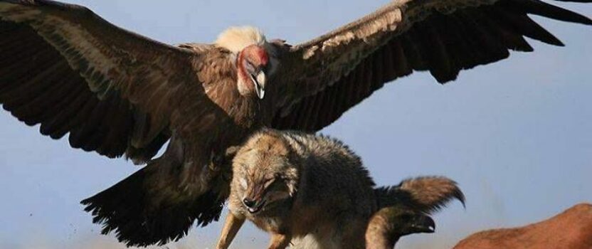 The largest bird in North America was nearly wiped out. Here's how it fought its way back
