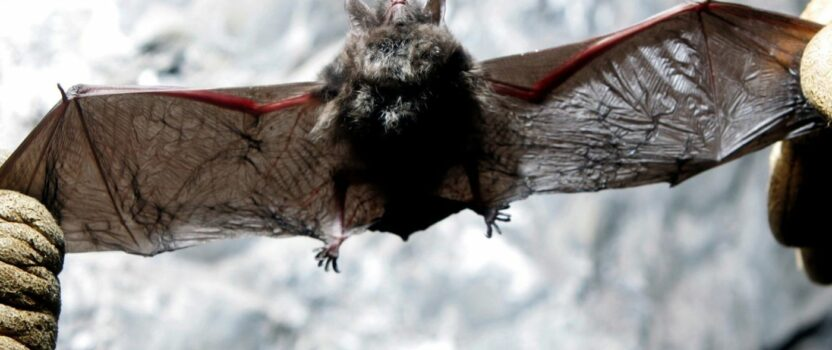 Deadly bat fungus found in California. Why that's bad news for all of us