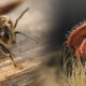 Beekeepers Seek to save Honeybees from a colony- invading pest